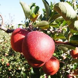 공기좋고 물좋기로 소문난 청송에서 재배한 청송꿀사과